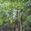 arbre médicinal