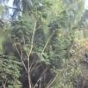 plante médicinale 21