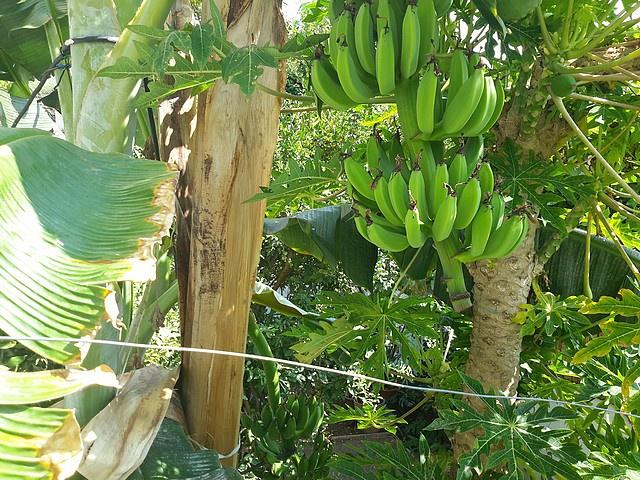 Bananier