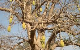Baobab feuille