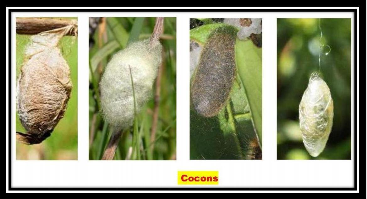 Cocon bon