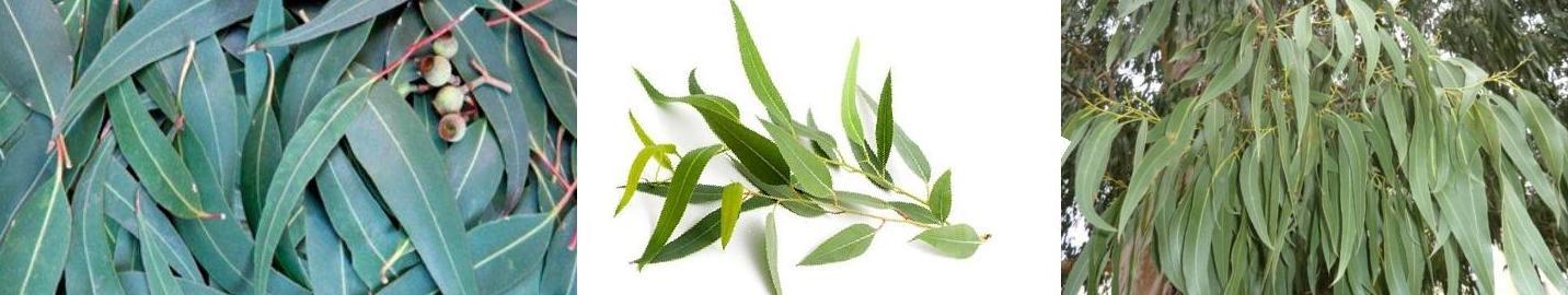 Eucalyptus 4