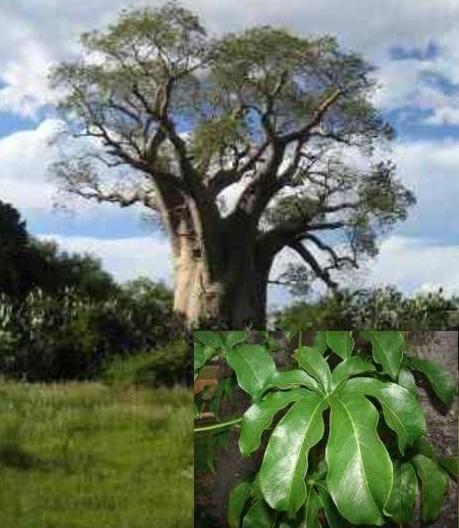 Feuille de baobab 2