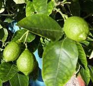 Feuilles de citron1