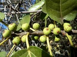 Ficus ingens 1