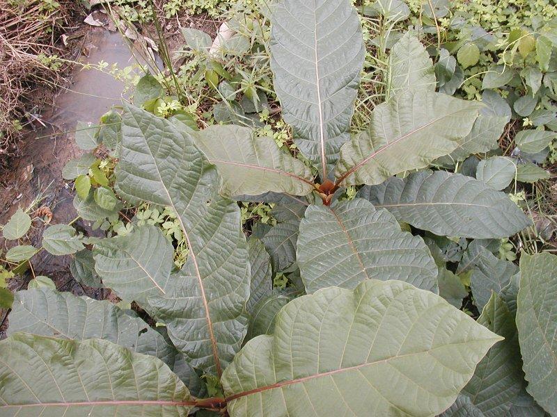 Mitragyna stipulosa1