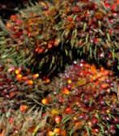 Noix huile de palme