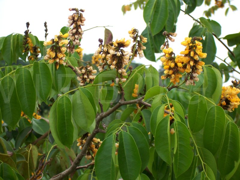 Pterocarpus santallinoides1