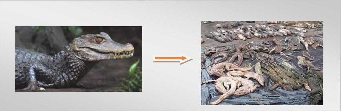Viande de brousse caiman