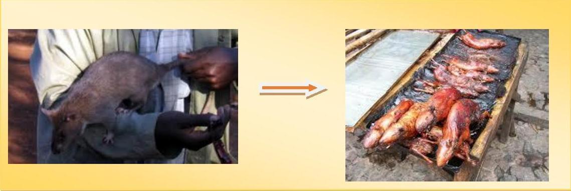 Viande de brousse rat de gambie