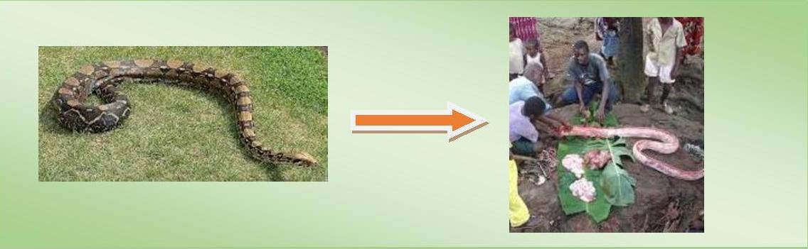 Viande de brousse serpent boa